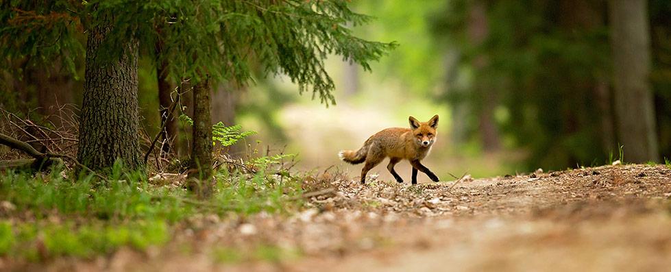 fox treatment