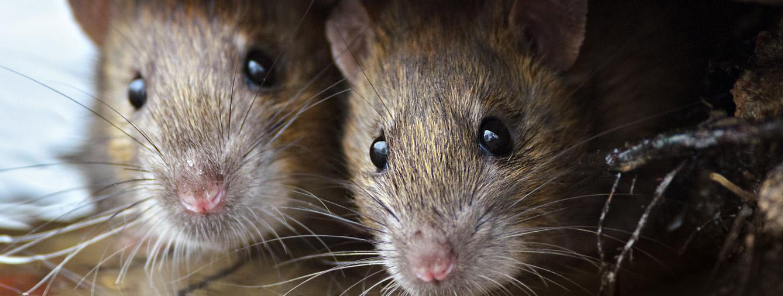 rat control east kilbride