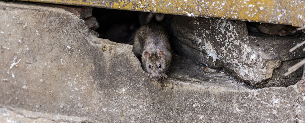 rodent removal glasgow