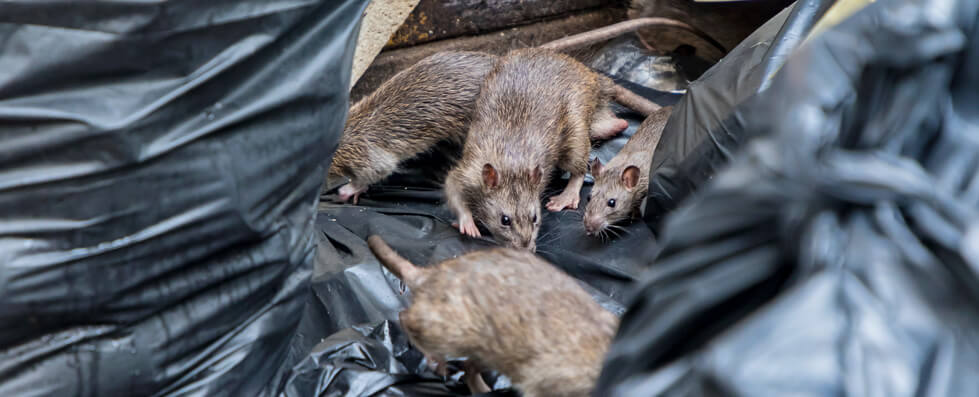 how bad are rodent infestations in glasgow?